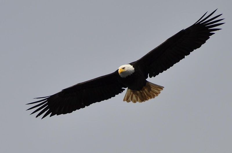 By Ryan McFarland (originally posted to Flickr as Bald Eagle) [CC BY 2.0 (http://creativecommons.org/licenses/by/2.0)], via Wikimedia Commons