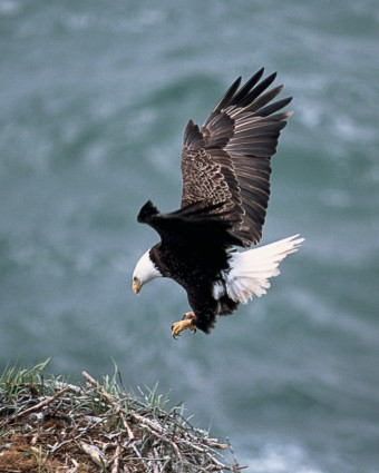 eagles_nest_flying_bald_eagle_238725